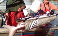 White Sturgeon Project: Upper Fraser River